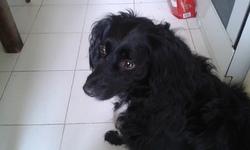 Astro, chien Épagneul français