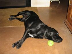 Astuce, chien Labrador Retriever