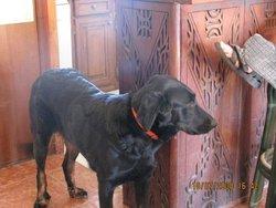 Astuce, chien Beauceron