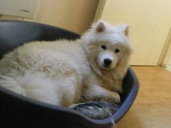 Asuna, chien Samoyède