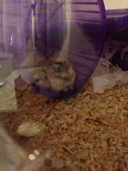 Atarax Et Antrax, rongeur Hamster