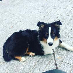 Atchoum, chien Berger australien