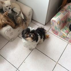 Atchum, chien Shih Tzu