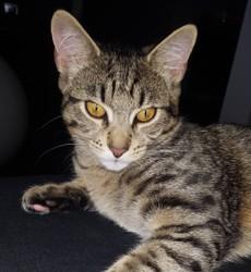 Athéa, chaton Européen
