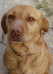 Athena, chien Labrador Retriever