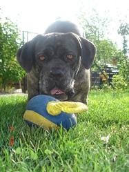 Athéna, chien Cane Corso