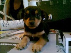 Athena, chien Pinscher