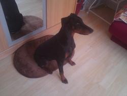 Athena, chien Dobermann
