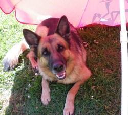 Athena, chien Berger allemand
