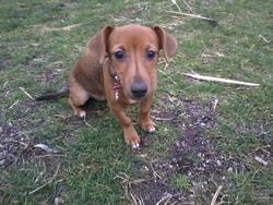 Athéna, chien Teckel