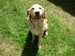 Athena, chien Golden Retriever