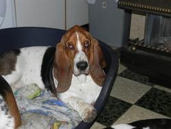 Athena , chien Basset Hound