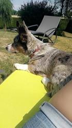 Athis, chien Welsh Corgi