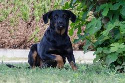 Athis Ponthis, chien Beauceron