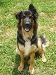 Athos, chien Berger allemand