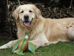 Athos, chien Golden Retriever