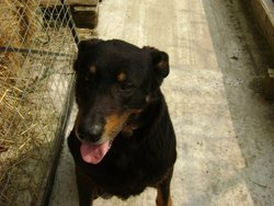 Athos, chien Beauceron