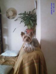 Athos, chien Yorkshire Terrier