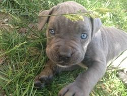 Athos, chien Cane Corso