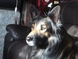 Athos, chien Berger belge