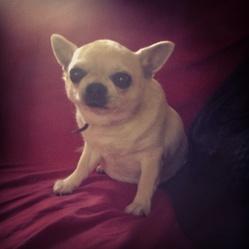 Athos, chien Chihuahua