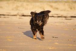 Athos, chien Épagneul nain continental