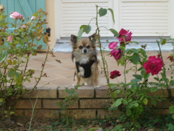 Atibou, chien Chihuahua