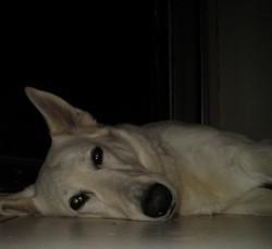 Atika, chien Berger blanc suisse