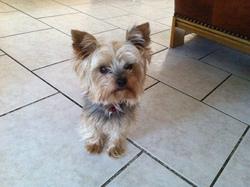 Atina, chien Yorkshire Terrier