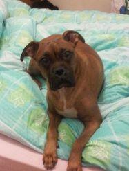 Atina, chien Boxer