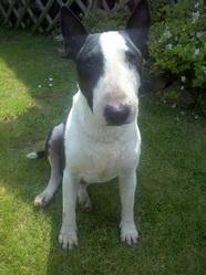 Atlas, chien Bull Terrier