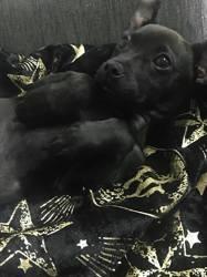Atlas, chiot Jack Russell Terrier