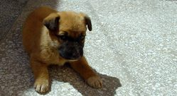 Atlas, chien Berger de l'Atlas