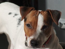 Atome, chien Jack Russell Terrier