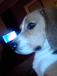Atos, chien Beagle