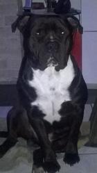 Atos, chien American Staffordshire Terrier