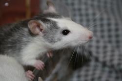 Attila, rongeur Rat