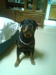 Attila, chien Rottweiler