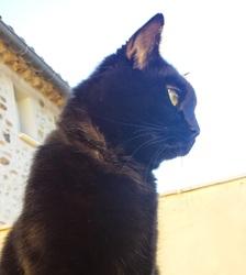 Attila, chat Européen