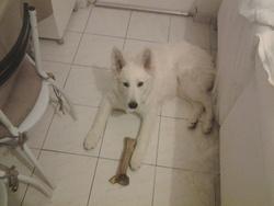 Attila, chien Berger blanc suisse