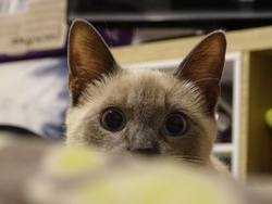 Attila, chat Siamois