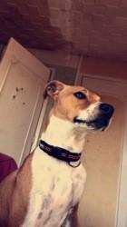Attila, chiot Staffordshire Bull Terrier