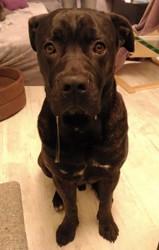Attila, chien Cane Corso