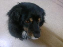 Attyla, chien Border Collie