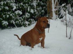 Atylla, chien American Staffordshire Terrier