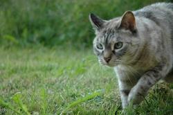 Atys, chat Gouttière