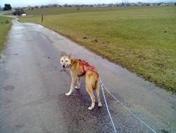 Au Loup, chien