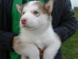 Aucun, chien Husky sibérien