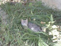 Auréole, chat Européen
