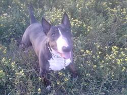 Auriane, chien Bull Terrier